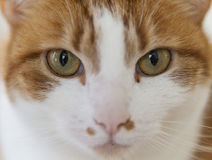 Look into my eyes. Close up of the face of a cat with focus on the eyes Stock Photography