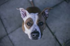 Look into my eyes human. Staffordshire bull terrier . Best friend . Dog Royalty Free Stock Photo