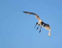 Look out below. A white ibis shapes to land on the tidal flats Stock Photography