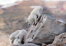 Look out below! Here I come!. We found these 4 mountain goat babies playing together away from their nanny goat high up on Mt. Evans in Colorado. They Royalty Free Stock Image