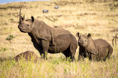 Black White Rhino Mother and Baby Rhino Royalty Free Stock Images