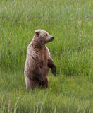 The Look Out. Coastal Brown Bear (Ursus arctos) sow standing upright in a meadow, Silver Salmon Creek, Lake Clark National Park and Preserve, Alaska Stock Photography