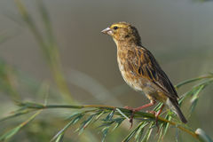 Look out. Female finch on grass twig in nature reserve Royalty Free Stock Images