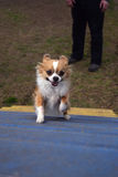 Look out here I come. A small reddish and white chihuahua dog joyfully runs up a blue ramp in a dog park for his daily exercise Stock Image