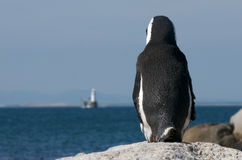 Look out Penguin. Penguin looking out over ocean at Cape Town Royalty Free Stock Images