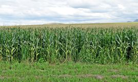 Over corn fields Royalty Free Stock Photo