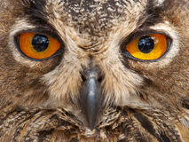 Look for owl Royalty Free Stock Photo