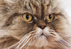 Look of the Persian cat Royalty Free Stock Photography