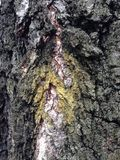 Beautiful structural surface of the bark on different trees. You will see something quite unusual. Look at this photo from a distance and from different angles Royalty Free Stock Photo