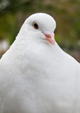 Look of pigeon royalty free stock image