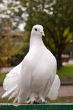 Look of pigeon Royalty Free Stock Photography