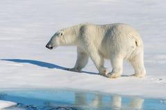 Look polaire Photo libre de droits