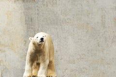 Look polaire Maritimus d'Ursus Images libres de droits
