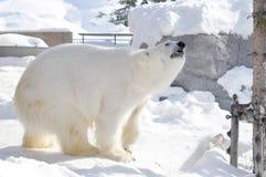 Look polar Imagens de Stock