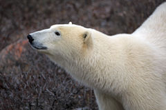 Look polar Imágenes de archivo libres de regalías