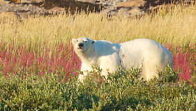 The Look of a Polar Bear. Canadian Polar Bear walking in the colorful arctic tundra of the Hudson Bay near Churchill, Manitoba in summer royalty free stock photography