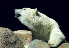Look polar Oso de hielo Fotos de archivo libres de regalías