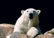 Look polar Oso de hielo Imágenes de archivo libres de regalías