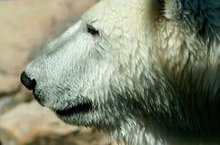 Look polar Oso de hielo Foto de archivo