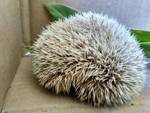 The porcupine Stock Photography