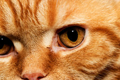Look predator. Ginger tabby cat looks at the production Stock Image