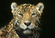 The look of a predator. Leopard looking straight at the camera Royalty Free Stock Image