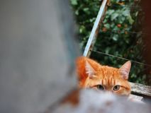Look of red cat. Cat looks slyly at his master. Cat beautiful red shade. Cat beautiful red shade royalty free stock images
