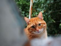 Look of red cat. Cat looks slyly at his master. Cat beautiful red shade. Cat beautiful red shade stock photography