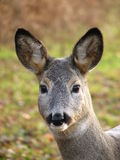 Look of the roe. Head of the roe looking into lens Royalty Free Stock Photo