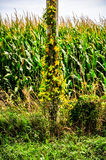Look and See The Country. Iowa corn, climbing vines and fences stock images