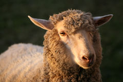 Look of sheep Stock Images