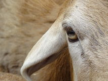 The look of a sheep Royalty Free Stock Photo