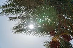 A look at the sun from under the date palm stock photos