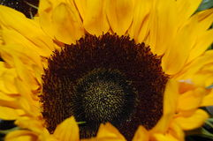 Look into a sunflower. Beautiful contrasts between the yellow and brown Royalty Free Stock Photos