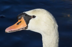 The look of a swan Stock Photos