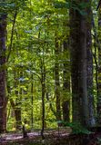 Look in to the deep dark beech forest in summer. Lovely nature background with tall trees and green foliage royalty free stock photo
