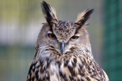 Look in to my eyes. Special orange eyes from an owl Royalty Free Stock Photography