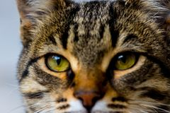 Look in to my eyes. A cat stairing into the person because he do not want to give her food Royalty Free Stock Photo