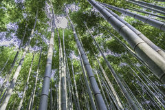 Look at treetop bamboo forest. Forest of bamboos in japan with view in the treetop Stock Photos