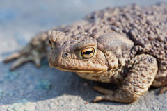 Look of ugly toad Stock Images