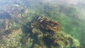 Look into underwater world of sea urchins in water of Hitra isle in Norway.  stock video footage
