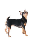 Look up. A russian toy terrier looking up isolated on white Stock Images
