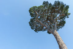 Look up angle of high Italian Stone Pine Trees with blue sky in Stock Photo