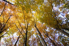 Look up in the autumn forest... Stock Photography
