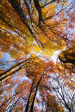 Look up in the autumn forest... Royalty Free Stock Photo