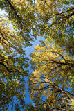 Look up in the autumn forest... Royalty Free Stock Photography