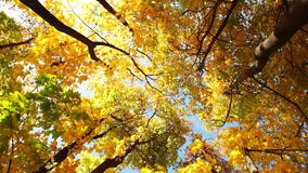 Look Up in the Autumn Forest stock footage