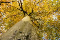 Look up into autumnal yellow crown of giant beech Stock Photos