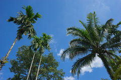 Look up, betel palm and coconut tree Royalty Free Stock Image