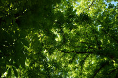 Look up at canopy of chestnut leaves. Look up at canopy of chestnut green leaves Stock Image